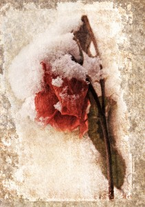 Snow Covered Roses Montage
